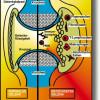 Arthritis (Rheumatoide Arthritis), entzündliches Rheuma (chronische Polyarthritis)